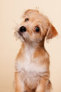 Cute little puppy on gray with blue background Royalty Free Stock Photo