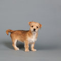 Cute little puppy on gray with blue background Royalty Free Stock Images