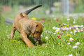Cute little puppy playing with flowers adorable rhodesian ridgeback in the backyard daisy funny expression in its face the dogs Royalty Free Stock Image