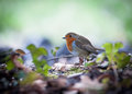 Cute little robin bird on the ground Royalty Free Stock Images
