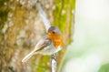 Cute little robin bird looking around Royalty Free Stock Image