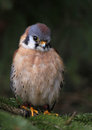 Cute little sparrow hawk a american kestrel falco sparverius sitting in a spruce tree Royalty Free Stock Photography
