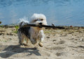 Cute, little terrier dog running on beach Royalty Free Stock Photo