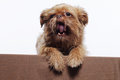 Cute little  yawn griffon dog Stock Photos