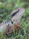 Cute lizard in the grass Royalty Free Stock Photo