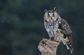 Cute long eared owl a asio otus sitting on a perch with snow falling in the background Royalty Free Stock Photos