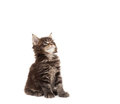 Cute Maine Coon kitten looking up Royalty Free Stock Photography