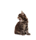 Cute Maine Coon kitten yawning Stock Photos