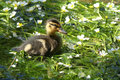 A cute Mallard Duckling Anas platyrhynchos in a stream, sitting in the middle of a patch of flowering water weeds. Royalty Free Stock Photo
