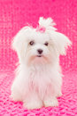 Cute maltese puppy dog Royalty Free Stock Photos