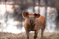 Cute mangalitsa pig Royalty Free Stock Photo