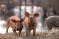 Cute mangalitsa pigs Royalty Free Stock Photo