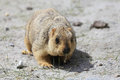 Cute marmot peeking out of a burrow in ladakh india Royalty Free Stock Photography