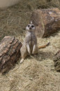 Cute meercat sitting down a looking forward Royalty Free Stock Photo