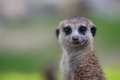 Cute meerkat on guard duty Royalty Free Stock Photos