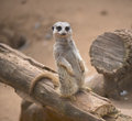 Cute meerkat standing up and posing closeup Royalty Free Stock Photos