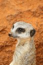 Cute meerkat suricate standing guard Stock Photo