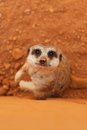 Cute meerkat suricate standing guard Stock Images