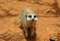 Cute meerkat suricate standing guard Royalty Free Stock Photography