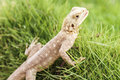 Cute Mimetism lizard Royalty Free Stock Photo