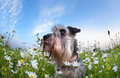 Cute miniature schnauzer dog with flowers among chamomile Stock Photo