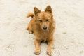 Cute mixed breed dog lying on a sandy surface with no interest Royalty Free Stock Photo
