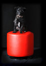 Cute mixed breed dog sitting on red stool on black background Stock Images
