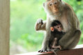 Cute mommy monkey takecare of her little lovely kid thailand Stock Image