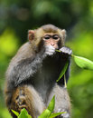 A cute monkey eating leaves sitting in the branch Royalty Free Stock Image