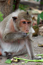 Cute monkey lives in a natural forest of Thailand. Royalty Free Stock Photo