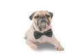 Cute mops puppy dog pug with neck bow tie sitting and looking at the camera on white Royalty Free Stock Photo
