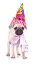 Cute mops puppy dog ready for party Royalty Free Stock Photo