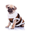 Cute mops puppy dog wearing clothes Royalty Free Stock Image
