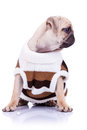 Cute mops puppy dog wearing clothes Stock Photography