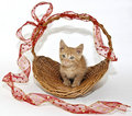 Cute Munchkin Kitten Royalty Free Stock Photo