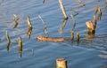 Muskrat swimming in golden water