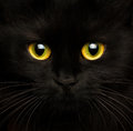 Cute muzzle of a black cat close up Royalty Free Stock Photo