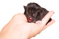 Cute newborn kitten meowing lying in the women s hands Stock Photography