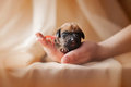 Cute newborn puppy in the hands Royalty Free Stock Photography