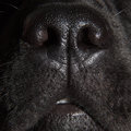 Cute nose of black labrador retriever dog Royalty Free Stock Image
