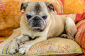 Cute old pug on a sofa Royalty Free Stock Photography