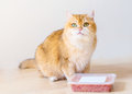 Cute orange cat eating food Royalty Free Stock Photo