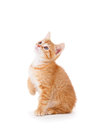 Cute Orange Kitten Looking Up on White Royalty Free Stock Images