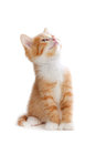 Cute orange kitten looking up on a white background isolated Royalty Free Stock Photo