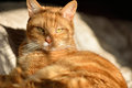 Cute orange tabby cat resting bed lit strong afternoon sunshine window Stock Photo