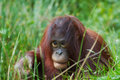 Cute orangutan Stock Images