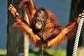 Cute orangutan Royalty Free Stock Image