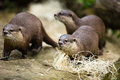Cute otters - Eurasian otter Royalty Free Stock Photo
