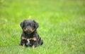 Cute pekingese puppy dog Royalty Free Stock Photo