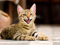 Cute pet kitten yawning details Royalty Free Stock Photos